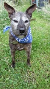 Baxter Dog Bandana